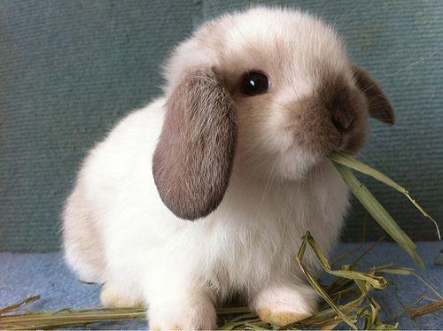 نگهداری خرگوش مینیاتوری در منزل