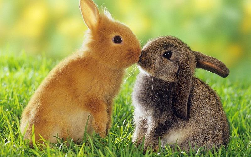 نگهداری خرگوش مینیاتوری